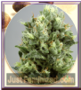 De Sjamaan Lemon Bud Female 5 Marijuana Seeds